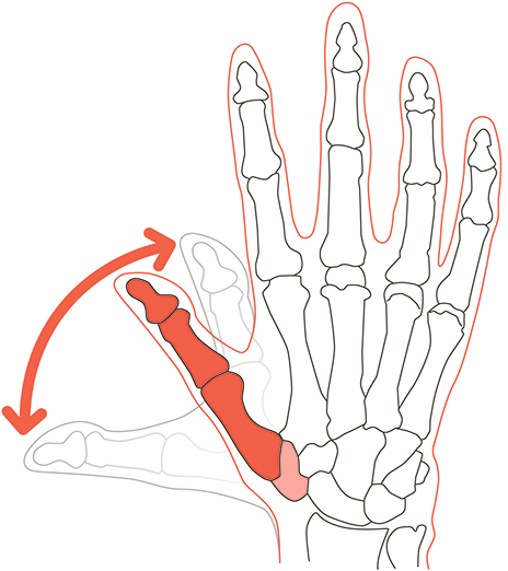 The thumb's bones extend all the way down to your wrist.