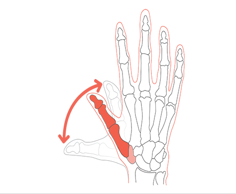 How the bones of the thumb move in extension and flexion